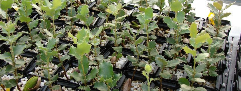 Truffle inoculated seedlings